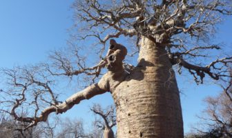 Reaching 30m in height, with a circumference in excess of 28m, the baobab tree can live for several thousand years.