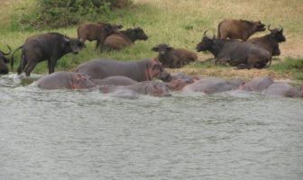 Buffalo and Hippos are dependant on water