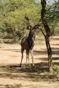 Kudu are less reliant on water than cattle