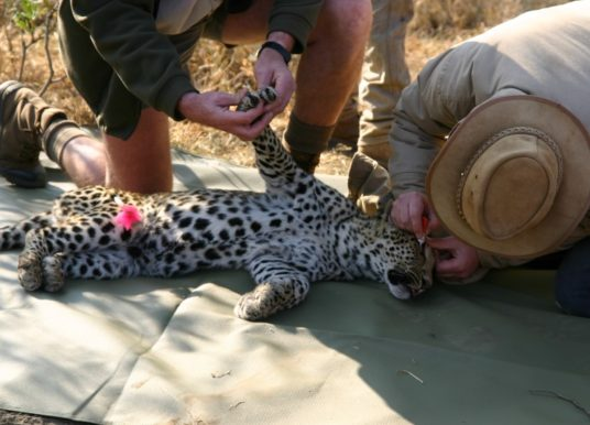 Leopard Conservation Experience