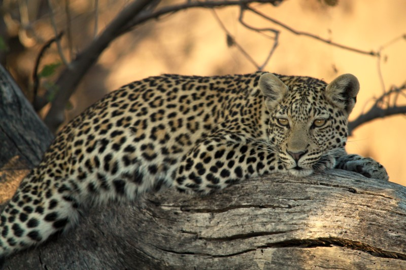 Ultimate Adventures: Leopard Conservation Experience