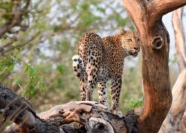 Panthera and popcorn